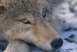 Canis_lupus_pup_closeup